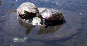 Turtles at Blair Pond